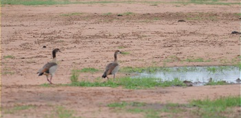 The Goose Story - Ilanga Lodge